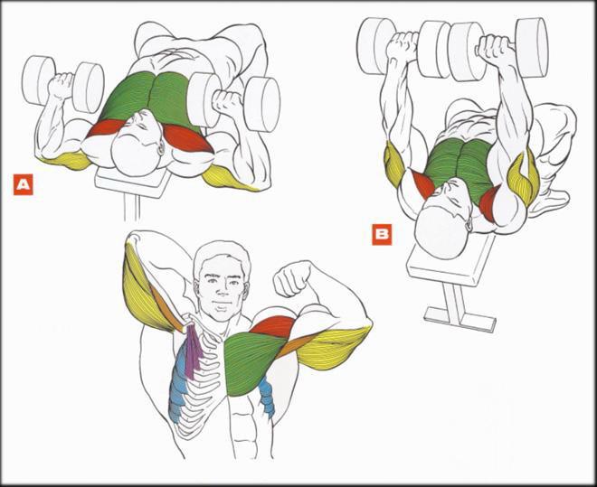 Как накачать грудные мышцы с гантелями в домашних условиях